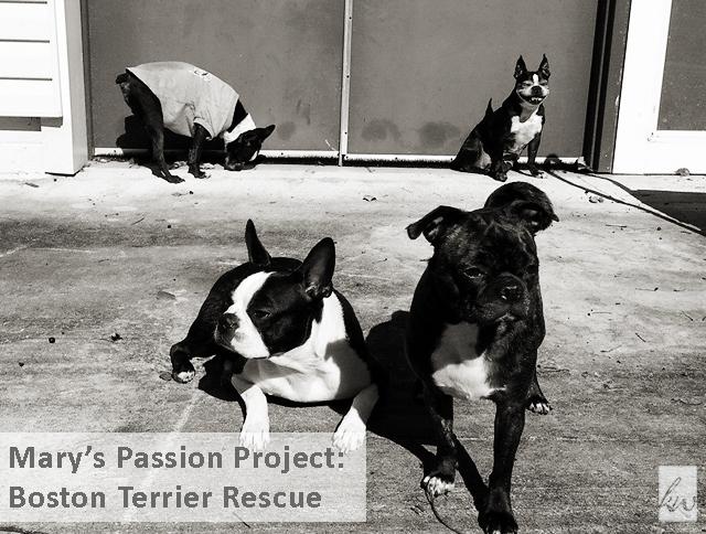 boston-terrier-rescue