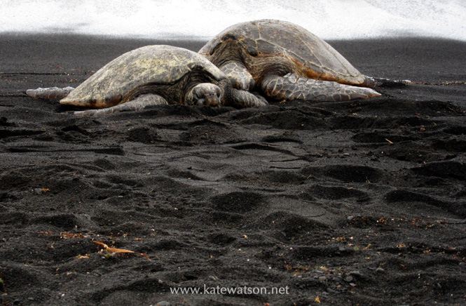 Honu (Sea turtles) on Punalu