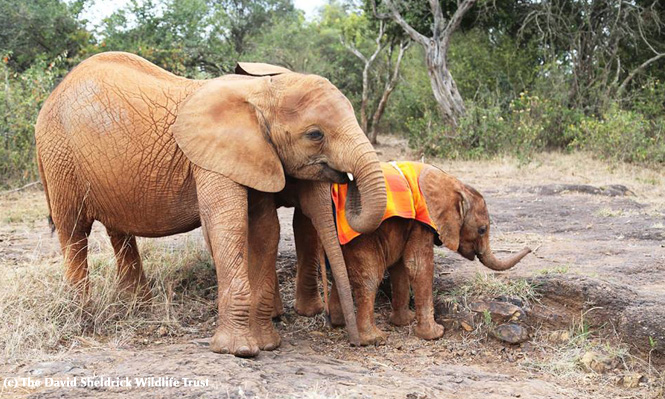 Arruba & little Mbegu, August 2014 - The David Sheldrick Wildlife Trust